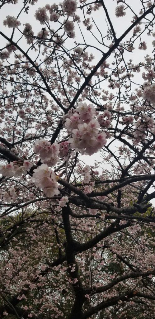 2020年2月20日に撮影した上野公園の早咲きの桜、大寒桜